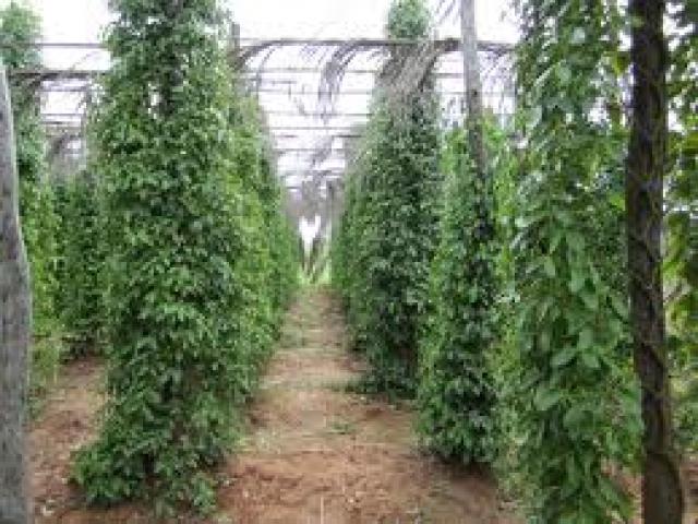 Kampot Pepper (GI) Trading