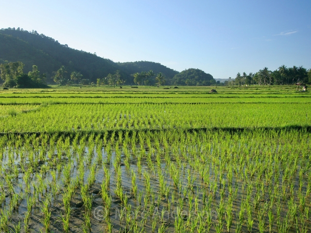 Cambodian Rice Business Opportunity
