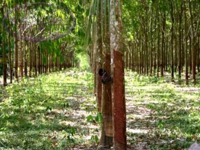 Cambodian Rubber Investment Opportunity